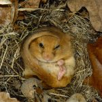 Go Nuts for Dormice in Bont (Part 2)