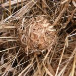 6320_Harvest_Mouse_nest_at_Edderthorpe_Ings