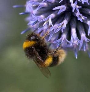 Buff tailed bumblebee