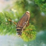 pond invertebrate