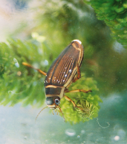 Gt diving beetle - chwilen plymiol