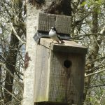Male pied flycatcher