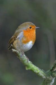 Robin birdsong