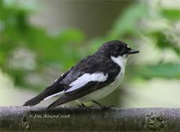 birds - pied flycatcher