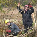 Traditional Hedge-laying