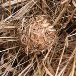 6320_Harvest_Mouse_nest_at_Edderthorpe_Ings