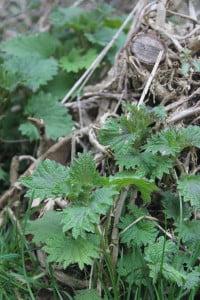 Stinging nettle shoots