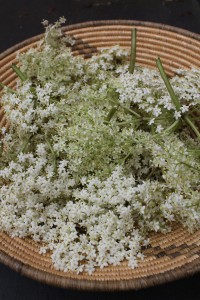 Harvested Elderflowers
