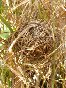 Example of Harvest mouse nest (2)