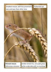 Harvest Mouse (Britain's smallest mouse)
