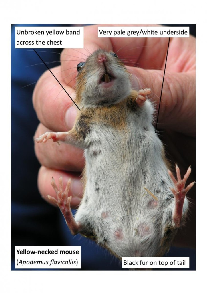 yellow-necked mouse (when compared to other mouse species) jpeg_0 (2)