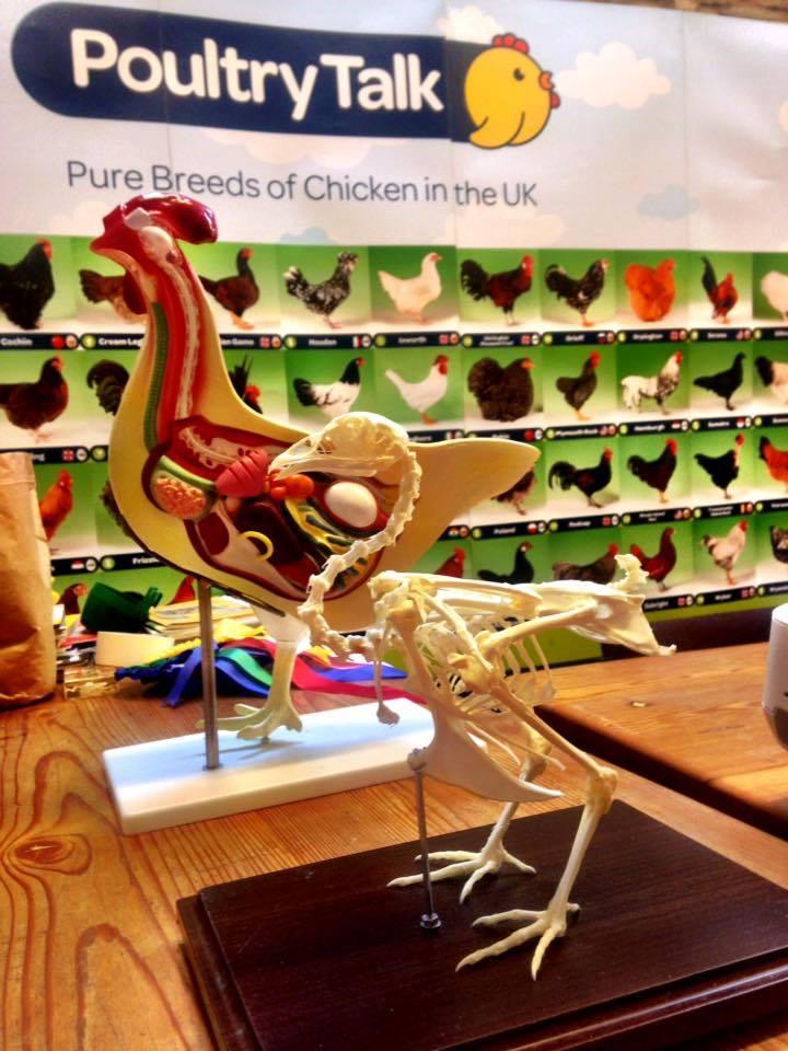 Chicken skeleton and internal anatomy (2) - Denmark Farm ...