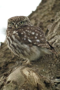 little-owl-dec05-031