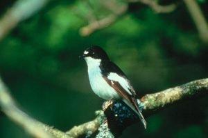 pied-flycatcher-gwybedwr-brith
