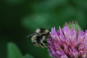 bumblebee identification training