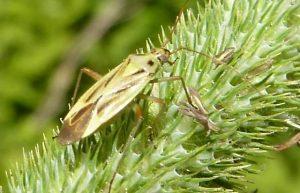 Timothy Grassbug