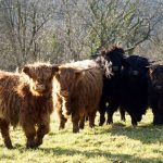 conservation grazing - highland cattle