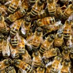 Social Hymenoptera (Bees, Wasps & Ants): An Introduction to their Taxonomy & Ecology - Free Virtual Talk