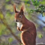 Introducing the Red Squirrel Project - Free Virtual Talk